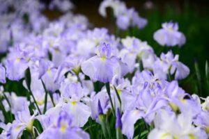 鏡石町の花アヤメ