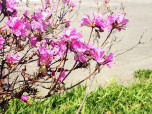 川俣町の花 ヤマツツジ