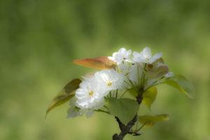 利府町の花ナシ