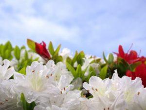 大和町の花ツツジ