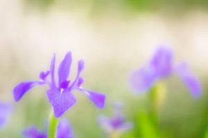 知立市の花カキツバタ