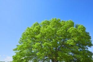 知立市の木ケヤキ
