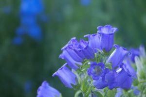 上野原市の花リンドウ