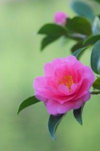 豊山町の花サザンカ2