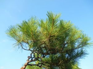 八百津町の木マツ