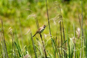 蟹江町の鳥ヨシキリ