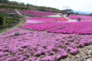 豊根村茶臼山高原の芝桜
