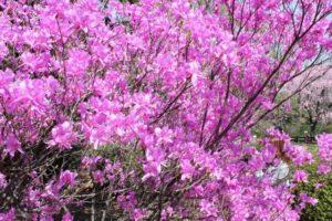 川辺町の花サツキ