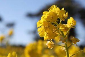 田原市の花 菜の花