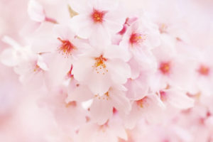 大口町の花サクラ
