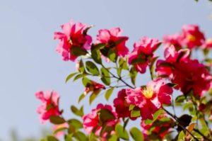 豊山町の花サザンカ