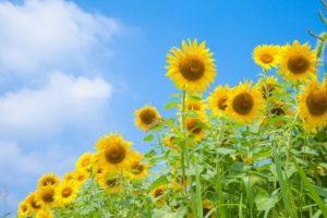 扶桑町の花ひまわり