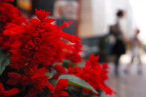 坂祝町の花サルビア