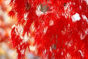 上野原市の木ヤマモミジ