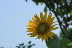 尾張旭市の花ヒマワリ