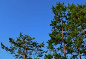 御嵩町の木アカマツ