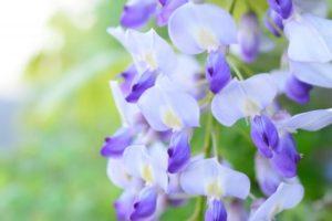 江南市の花フジ