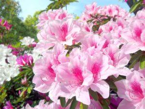 山梨市の花つつじ