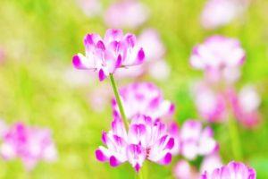 中央市の花レンゲ草