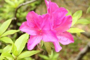知多市の花ツツジ
