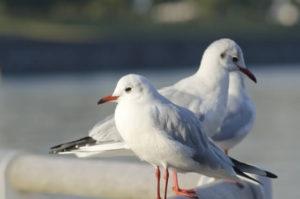 北茨城市の鳥カモメ