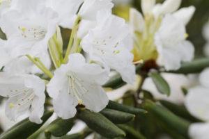 北茨城市の花シャクナゲ