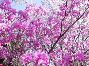 丹波山村の花ミツバツツジ