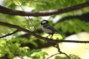 西桂町の鳥シジュウカラ