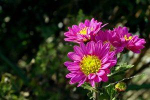 高石市の花キク