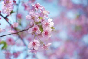 羽曳野市の花モモ