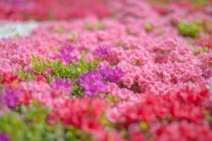 富田林市の花ツツジ