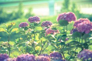 南部町の花アジサイ
