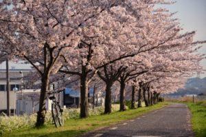 富田林市の桜並木