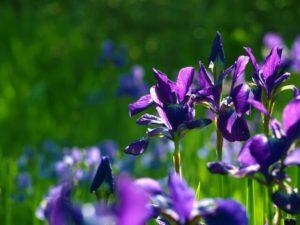 亀山市の花ハナショウブ
