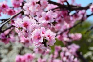 揖斐川町の花ハナモモ2