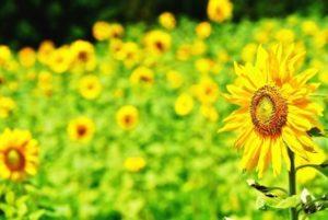 熊取町の花ヒマワリ