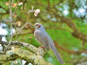 朝日町の鳥ウグイス