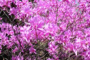 忠岡町の花サツキ
