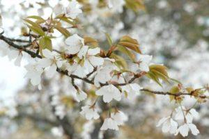 芝山町の木山桜