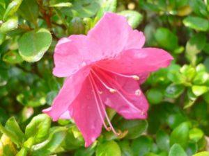 泉大津市の花サツキ