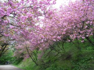 池田町の花ヤマザクラ (2)