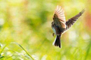 輪之内町の鳥ヒバリ