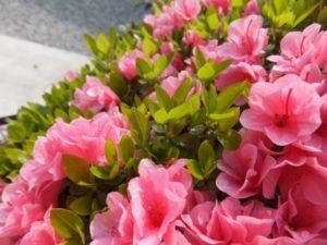 忠岡町の花サツキ2