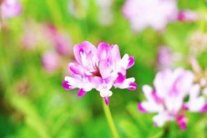 昭和町の花レンゲ