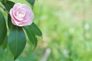 昭和町の木オトメツバキ