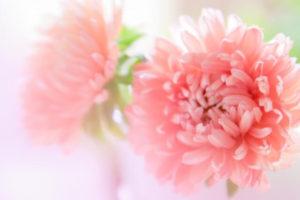 吉岡町の花キク
