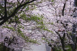 大東市野崎の桜