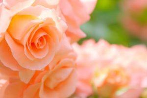 松原市の花バラ