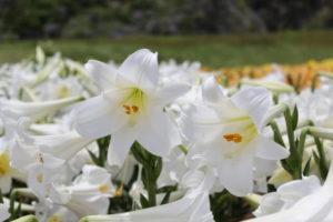 河南町の花ユリ