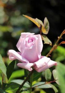 茨木市の花バラ